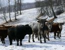 Зимовка скота в Республике Алтай проходит в штатном режиме