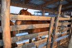 Кобыла, кличка «Люська», рыжей масти, № тавра 30-15.jpg